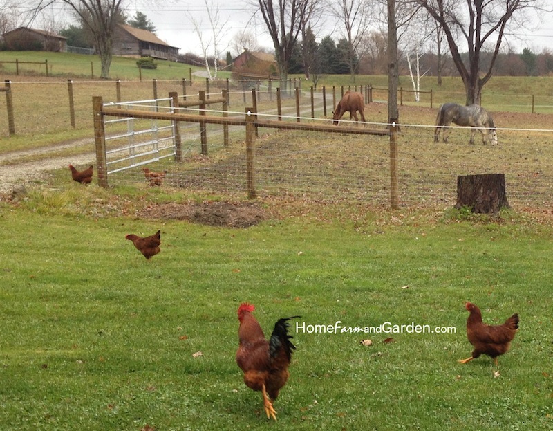 here are some truly free range chickens